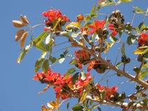 Indian Bombax blossom. Beautiful blossom of red Indian Bombax (cotton tree Stock Image