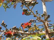 Indian Bombax blossom. Beautiful blossom of red Indian Bombax (cotton tree Royalty Free Stock Photos