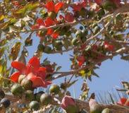 Indian bombax (Cotton tree) bloom Stock Image