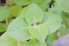Indian borage tropical herb in garden Royalty Free Stock Photos