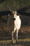 Indian brahman cattle Royalty Free Stock Photos