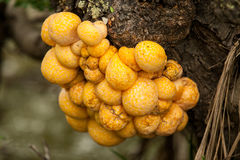 Indian Bread Fungus Stock Photo