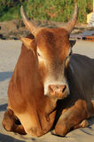Indian brown cow resting on the beach, Goa Royalty Free Stock Photo