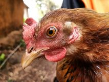 Indian brown hen portrait Royalty Free Stock Image