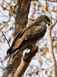 An indian black kite looking for prey Stock Photo