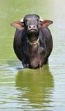 Indian buffalo Stock Photos