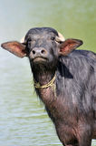 Indian buffalo Royalty Free Stock Images