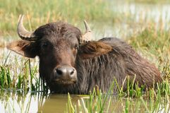 Indian buffalo Stock Photos