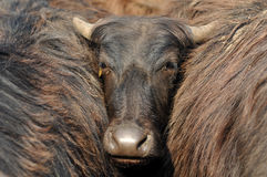 Indian buffalo Stock Photo