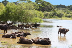 Indian Buffalo bathing in the river Yala Sri Lanka stock images