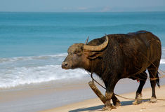 Indian Buffalo on the Beach. Unescorted buffalo on the beach of the Indian ocean in Goa, India Royalty Free Stock Photos