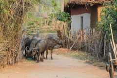 Indian Buffalo Stock Photography