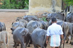 Indian buffalo herd with herder. Buffalo black herd in india moving from one place to another in the field with herder stock photography