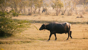 Indian buffalo walking in the field. Stock Image