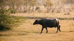 Indian buffalo walking in the field. Stock Image