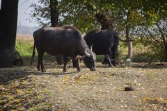 Indian buffaloes in forest near the lake in serbia stock image