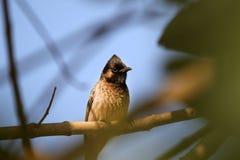 Indian bulbul bird Stock Photos