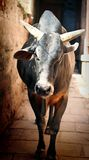 An Indian bull Stock Photo