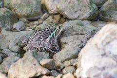 Bull Frog. Indian Bull Frog Hoplobatrachus tigerinus at river bed between stones stock photos