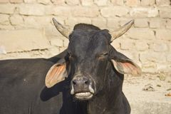 Indian bull Stock Photos