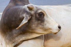 Indian bull Royalty Free Stock Photo