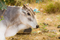 Indian bull Stock Photo