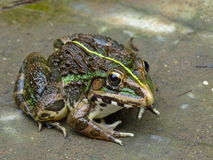 Indian Bullfrog. Stock Photography