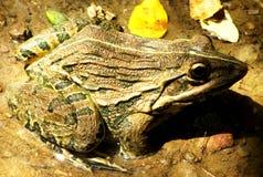 Indian bullfrog. A mature Indian bullfrog in non-breeding season royalty free stock images