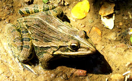 Indian bullfrog. A mature Indian bullfrog in non-breeding season stock images