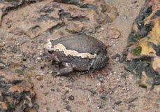 Indian bullfrog. A indian bullfrog seen in Cambodia stock images