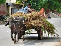 Indian bullock-cart. Boy using bullock-cart as a way of transportation in hoshiarpur punjab india Stock Image