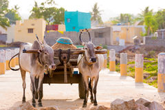 Indian bulls in harness, Puttaparthi, Andhra Pradesh, India. Copy space for text. Indian bulls in harness, Puttaparthi, Andhra Pradesh, India. Copy space for Royalty Free Stock Photos