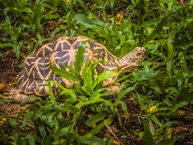 The Indian or Burmese star tortoise, a threatened species of tor royalty free stock photos