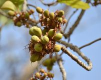 Indian Butter Tree or Mahua Fruits Royalty Free Stock Photography