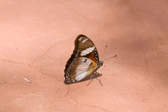 Indian Butterfly. Beautiful Indian Butterfly standing on parched clay Royalty Free Stock Image