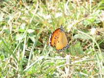 Indian Butterfly Royalty Free Stock Photos