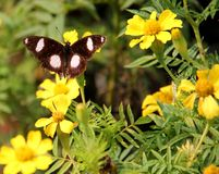 Indian butterfly : Great Eggfly Royalty Free Stock Image