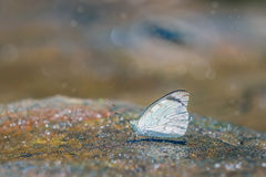 The indian cabbage white. On sand Royalty Free Stock Photos