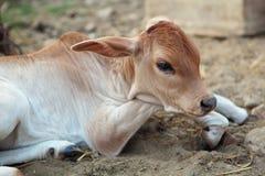 Indian Calf Royalty Free Stock Photos