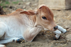 Indian calf. Calf of an indian cow, two weeks old. Haridvar, India Royalty Free Stock Photos