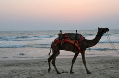 Indian camel. Camel on the beach  in India, Goa Royalty Free Stock Photo