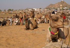 Indian Camel Fair Stock Photos