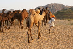Indian Camel Herder Stock Photos
