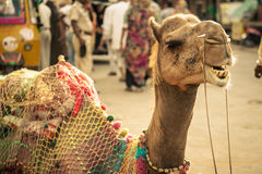 Indian Camel Royalty Free Stock Photography