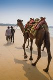 Indian cameleer - camel driver with camels Stock Photography