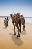 Indian cameleer - camel driver with camels Stock Image
