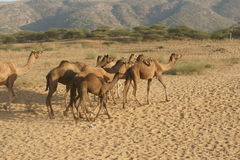 Indian Camels Stock Photography