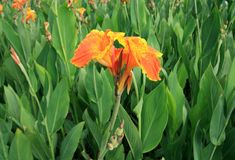 Indian Canna (Canna indica L.) Royalty Free Stock Image