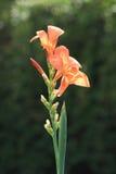 Indian Canna (Canna indica L.) Stock Photo