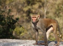 Indian Capuchin Monkey Royalty Free Stock Image
